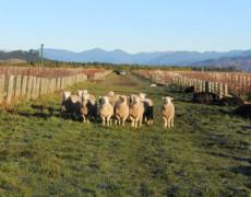 Sự thật bên ngoài những chai vang Sauvignon Blanc New Zealand