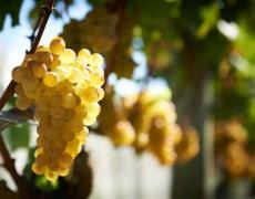 Sauvignon Blanc-Giống nho có lịch sử tươi trẻ tại New Zealand