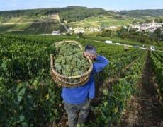 Burgundy 2018 số lượng và chất lượng