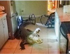 Nửa đêm, phát hiện cá sấu 3m đang lục rượu vang trong nhà bếp